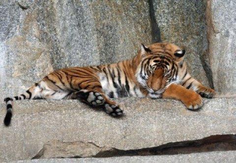1896328-retrato-de-un-tigre-dormido