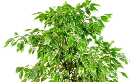 jardineria-424-tipos-de-ficus-xl-668x400x80xX